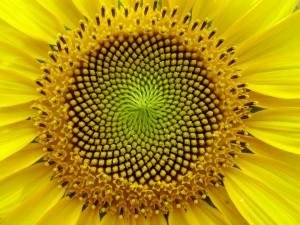 Sunflower_Golden Section
